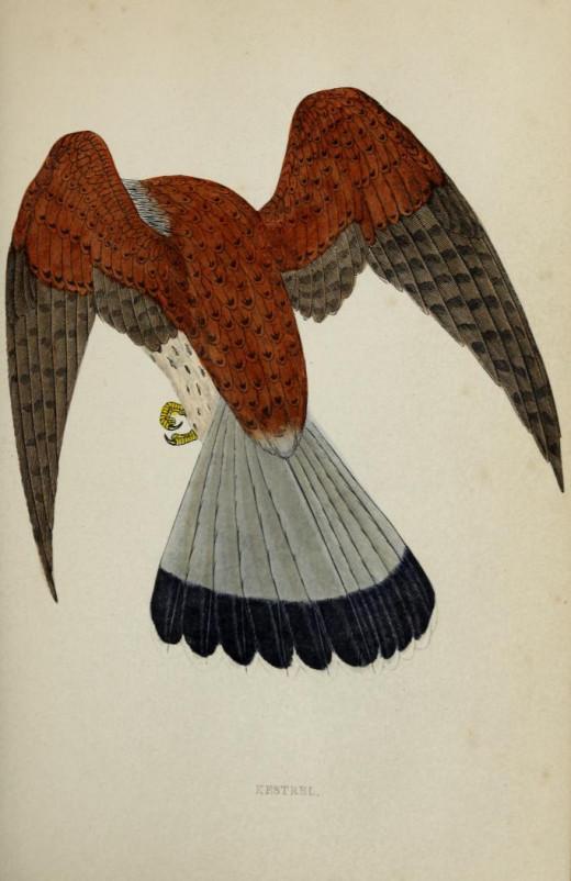 History of Birds Morrison { 1860}