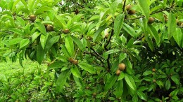 The garcinia cambogia bush. It is also called tamarind fruit. Dr. Oz calls is the fastest fat buster.