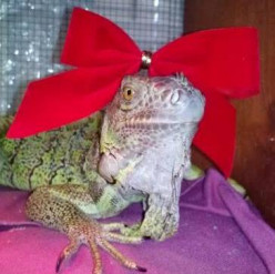 Princess Anastasia, the iguana with style