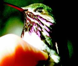 Calliope Hummingbird from USDA Forest