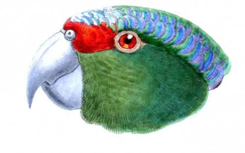 Red-lored Amazon, head from lateral