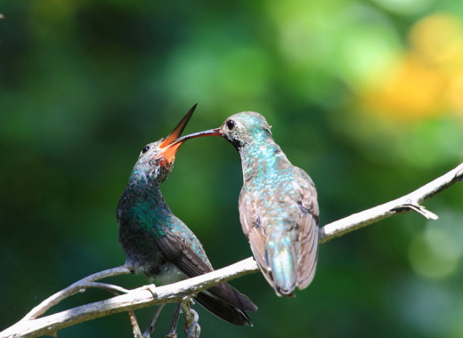 Glittering Throated Emerald Hummingbird