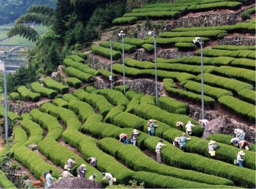 Picking Green Tea