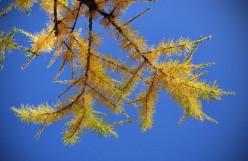 Tthe Tamarac Tree......a poem?