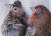 How to discern avian conjunctivitis
