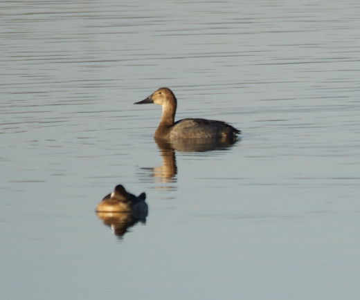 Female Canvasback(top)