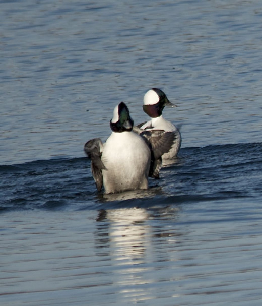 Two Male Buffleheads Asserting Themselves