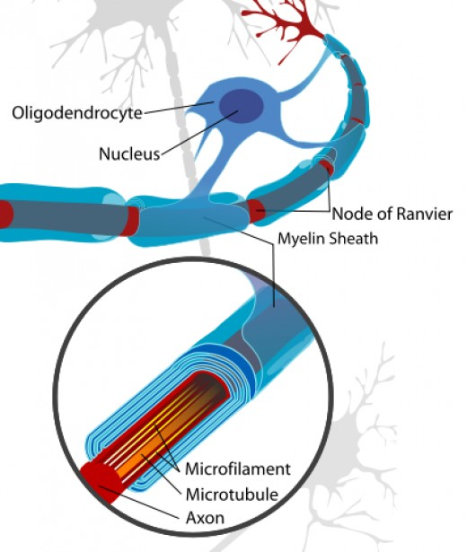 Nerve cells wrapped in myelin. Source: Andrew c, Wikimedia Commons, Public Domain.
