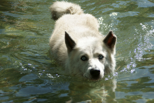 Swimming is an excellent low impact exercise for canine arthritis and helps with weight management issues.