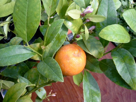 Uncommon Citrus is only available to home growers, like the elusive and elegant Rangpur Lime!