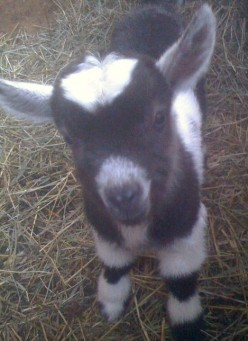 CAE in Goats: Prevention and Care