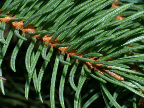 Norway Spruce.