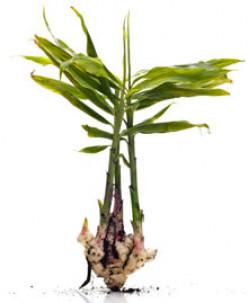 Ginger plant.