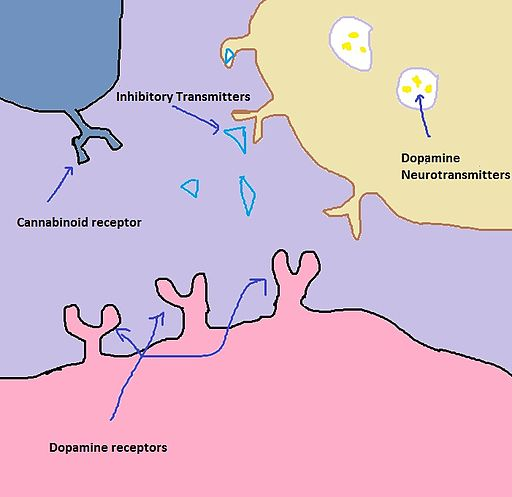 Inhibitory neurotransmitters are active in the synapse before marijuana goes into the system. The job of these neurotransmitters is inhibiting dopamine from being released into the synapse.