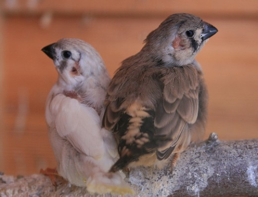 Young zebrafinch from Steve McMaster flickr.com