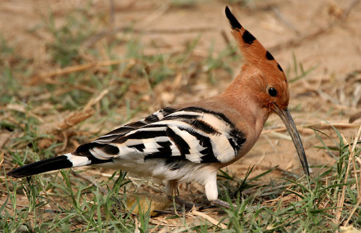 A Common Hoopoe (Upapa epops).
