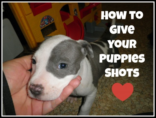 puppies first shots do it yourself how to do puppy vaccinations and give your puppies shots 4917