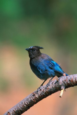 In America the species are represented by birds such as Stella's Jay {Above} and the Blue Jay