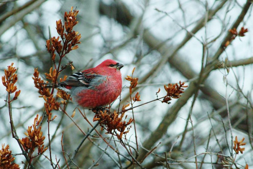 Male Pine Grosbeak feeding off branch in Manitoba, Canada. (Canada is part of Taiga range)