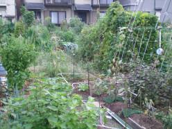 A communal vegetale plot, Tokyo © A Harrison