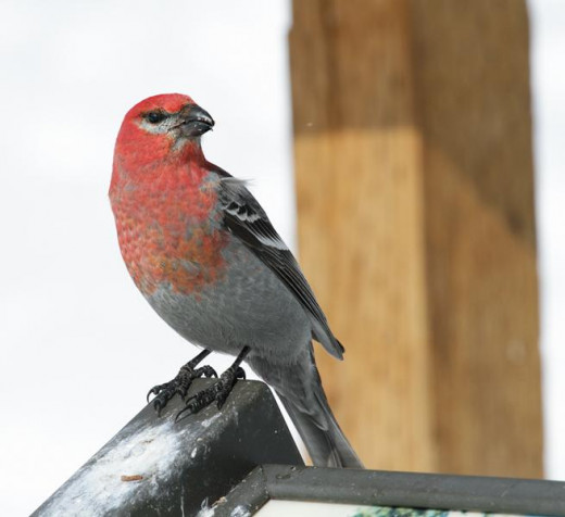 Pine Grosbeak, male, perched on a sign in Jackson City., Colorado. (part of Interior West range)