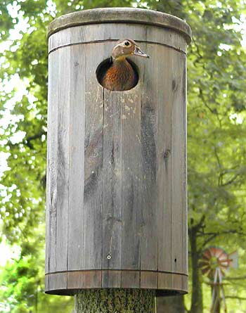 Consider adding nesting boxes around your pond to attract wood ducks