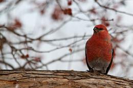 Pine Grosbeak, male,