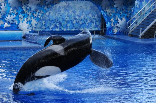 Tilikum (an Orca whale) was moved to SeaWorld Orlando, Florida on January 9, 1992, from Sealand of the Pacific in South Oak Bay, British Columbia. He has sired 21 calves, with 11 still alive.