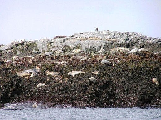 Gray seals and harbor seals sun themselves on Northern Rock, south of Grand Manan, New Brunswick. Northern Rock and Machias Seal Island are in the northern Gulf of Maine to the southeast of Machias, Maine. By -JMChone