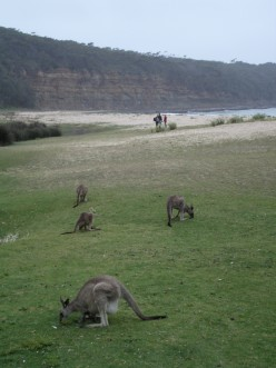 Roos at Pebbly Beach - about as close as you can get to  kangaroo while wearing a swimsuit.
