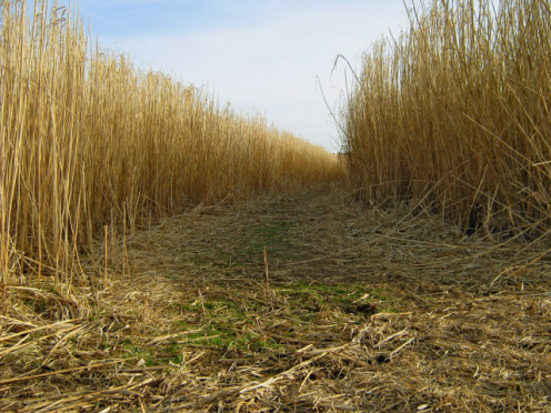 Footpath through bio-fuel field