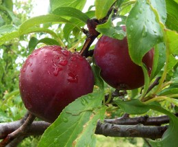 Plums are rich in fibre, which can regulate healthy bowel movements.