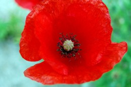 A beautiful red poppy