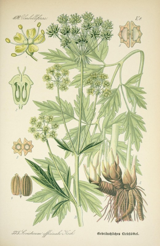 Dr Thome's Flora { Flora von Deutchsland  1903