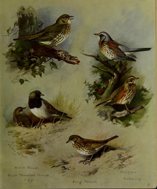 British birds  Plate by Thorburn