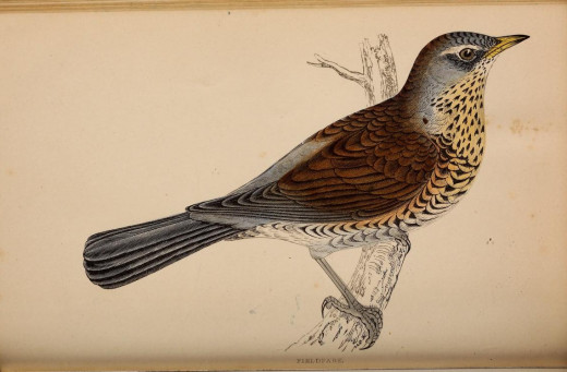 History of British Birds Morrison  {18--? }