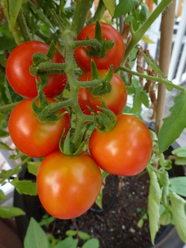 Ask experienced gardeners what  tomato varieties are best in your region.