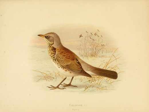 Birds of Great Britain and Ireland --Butler { 1844 }
