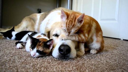 Murken the dog tolerates kittens climbing on him