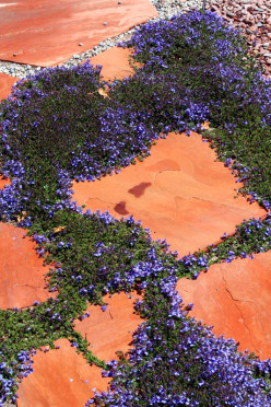 Blue for You -- Flowering Ground Cover Plants