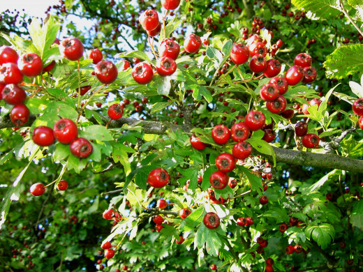 A tree ladened with ripe fruits are like a magnet to fieldfares.