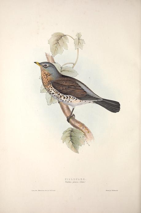 Birds of Europe -- Gould 1837