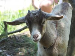 The Pet Goat