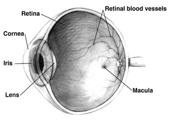 Human Eye:  Cross-sectional view.