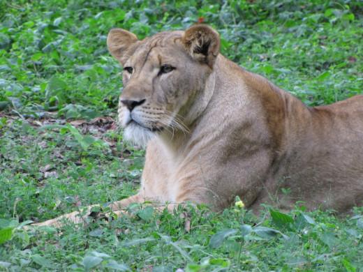Lioness in wait