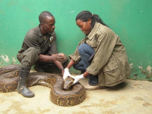 African Python upclose