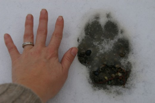 Gray wolf tracks compared with human hand.