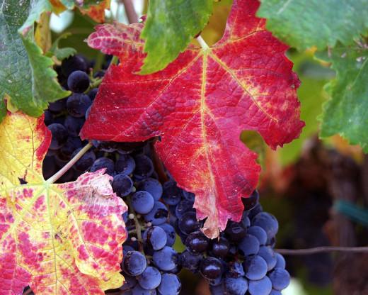 Grapes from the Guadalupe Valley, Ensenada, Baja California, Mexico