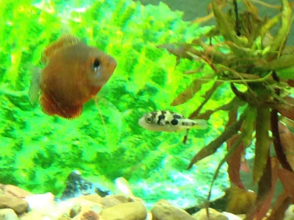 Popular home aquarium fish indian dwarf puffers for Dwarf puffer fish