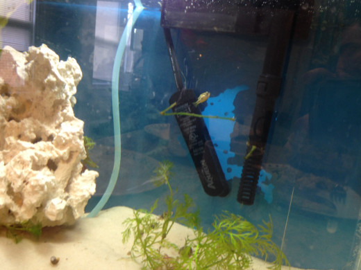 Plants are often recommend in puffer aquariums. They provide the fish with places to hide.